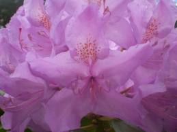 Rhododendron - farbig.jpeg